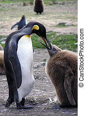 Mother King Penguin feeding her young, South Georgia,...