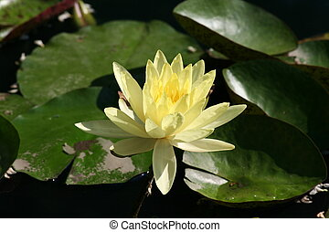 quot;yellow water lilyquot; - Yellow water lily or nymphaea...