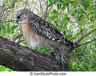 Red-Shouldered Hawk - Hawk Ding Darling Wildlife Refuge...