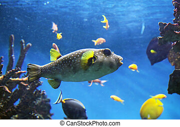 Pufferfish - Aquarium with submarine life