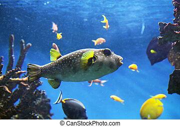 Pufferfish - Aquarium with submarine life