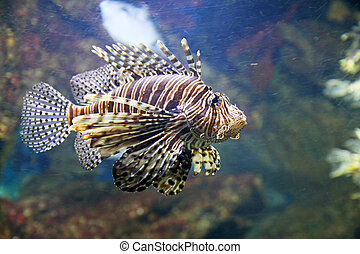 Scorpion fish - A scorpion fish is swimming in the deep...