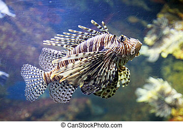 Scorpion fish - A scorpion fish os swimming in the deep...