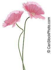 poppy - Studio Shot of Pink Colored Poppy Flowers Isolated...
