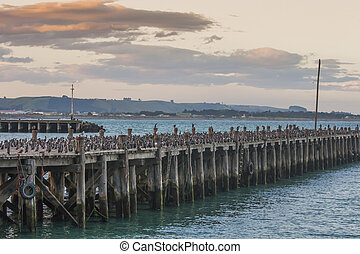 Cormorants on a wooden jetty - Very large group of...