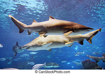 Shark - A grey shark is swimming in the reef with other...