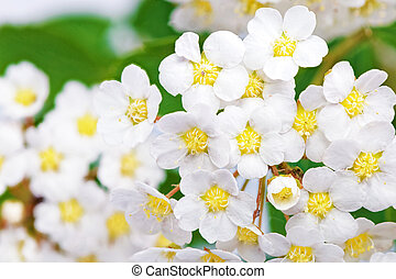 Beautiful white flowering shrub Spirea aguta Brides wreath...
