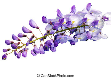 Beautiful Wisteria flowers isolated.On white background.