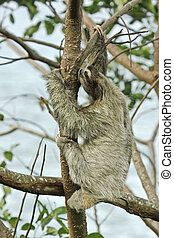 Brown-throated three-toed sloth; Latin name - Bradypus...