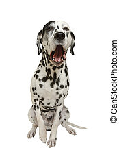 Talking dog - I am ready to take you out, - says Dalmatian...