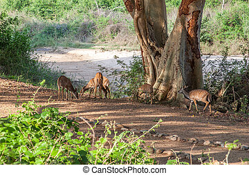 Wild herd of antelope in national Kruger Park in UAR,natural...