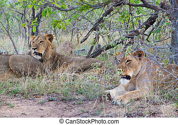 Wild Pride of lions in national Kruger Park in UAR,natural...