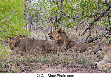 Wild Pride of lions  in national Kruger Park in UAR,natural themed collection background, beautiful nature of South Africa, wildlife adventure and travel