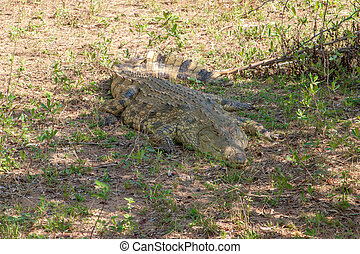 dangerous African crocodile in the Kruger National Park,...