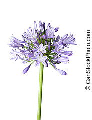 Agapanthus blue on white background - Agapanthus blooms with...