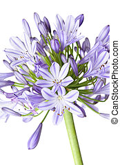 Agapanthus - African Lily - Agapanthus flowerhead showing...