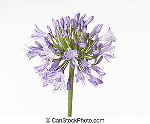 Agapanthus showing buds and flowers. Colours range from...