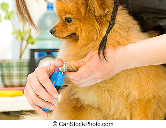 trim dogs toenails - hands using pet clippers to trim dogs...