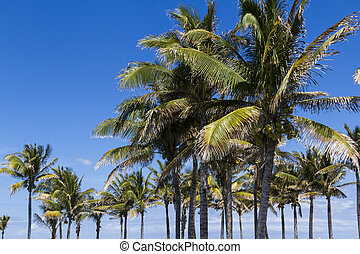 Coconut palms - Coconut tree in tropical climate.