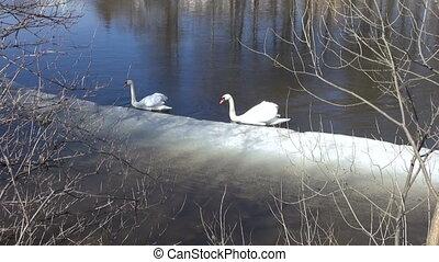 white swans Cygnus olor - two white swans Cygnus olor on...