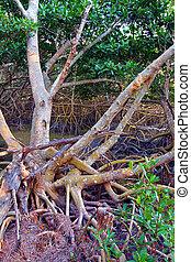 Mangrove Ecosystem Everglades - Mangroves of Everglades...