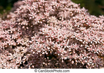 sedum - beautiful flowers sedum