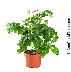 Tomato seedlings with flower and fruit on a white background