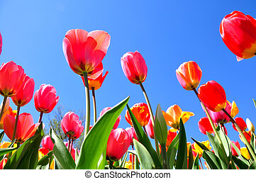 Tulips view from the ground - Taken in Boston Public Garden,...