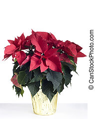 Christmas poinsetta isolated on white. Professionally...