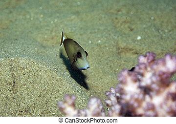 bluethroat triggerfish sufflamen albicaudatus