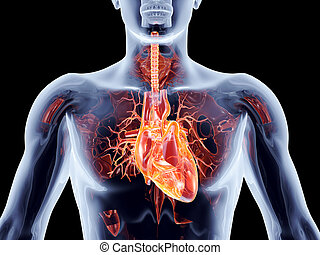 Internal Organs - Heart - The human heart. 3D rendered...