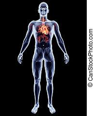 Internal Organs - Heart - The human heart. 3D rendered...