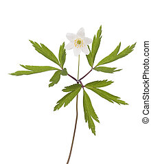 anemone - single flower anemone (Anemone nemorosa) on white...