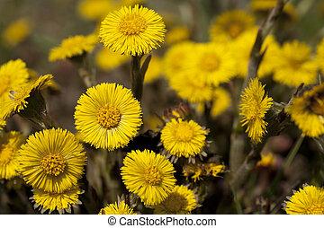 coltsfoot - yellow clump coltsfoot (Tussilago farfara) as...