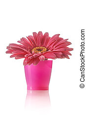 african daisy - pink african daisy in a pink vase on white...