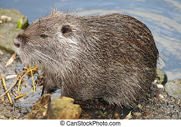 European Or Eurasian Beaver - Adult european beaver, also...