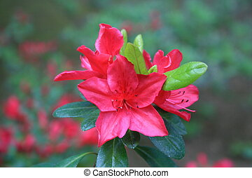 Azalea Flower - Close up of a pink azalea flower