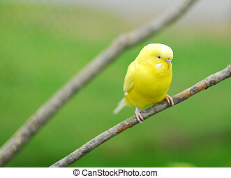 yellow budgie parrot pet bird