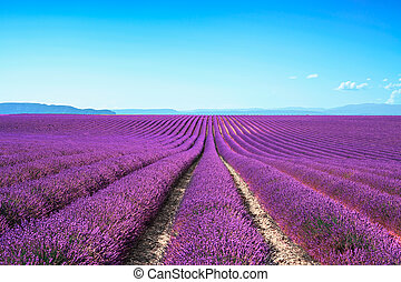 Lavender flower blooming scented fields in endless rows....