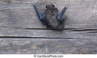 bat species (Eptesicus nilssonii) on old farm house wooden...