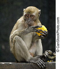 Finger Licking Good - A monkey licking its finger while...