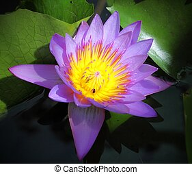 A Purple Lotus in pool