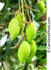 mangoes on mango tree