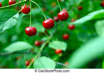 Close up of cherry fruits on a tree - Close up of red fruits...