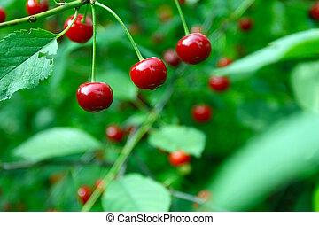 fin, haut, cerise, fruits, arbre