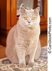 Lilac British Cat - beautiful lilac british cat sitting on a...