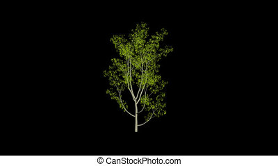 Animation Tree - Animation tree, leaves rustling in the...