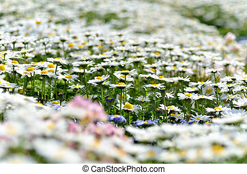 North Pole Leucanthemum paludosum Flower-beds in the spring...