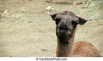 Lama close-up