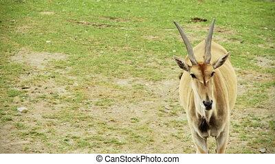 Cape Eland posing
